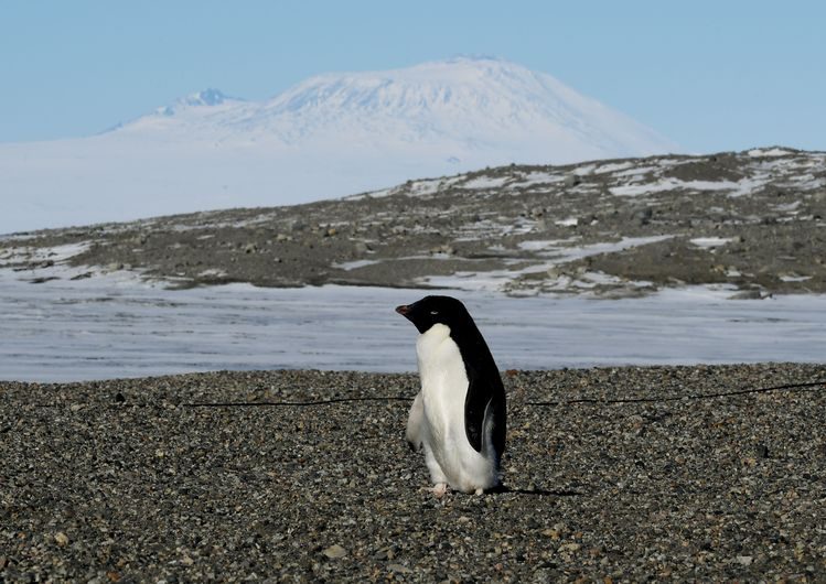 An Adelie penguin is seen at the New Harbor research stationin Antarctica. (Mark Ralston/Getty)/p