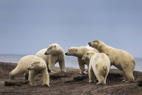 Polar bears gather on a barrier island in the Arctic National Wildlife Refuge just outside the Inupiat village of Kaktovik, Alaska (JIM LO SCALZO/EPA-EFE/REX/Shutterstock)