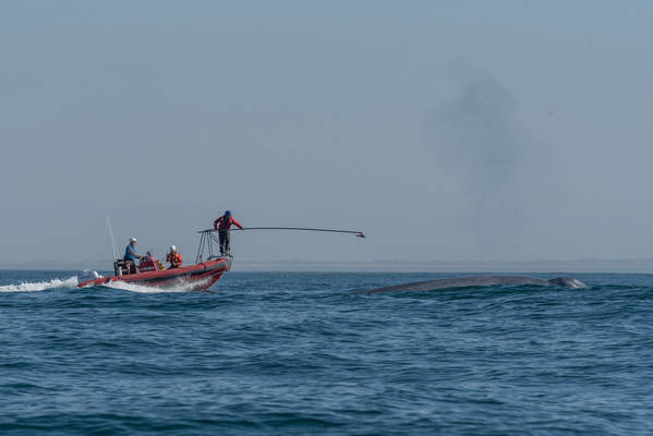 A blue whale surfaces to breathe just before a researcher affixes a heart rate recording tag. (M.S. Savoca)
