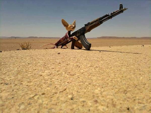 This image of a Fennec fox (Vulpes zerda) with an assault rifle was posted on social media and was later published by researchers in 2018 and 2013 as evidence of wildlife massacres in the Sahara-Sahel associated to war and conflict. (provided by Jose Carlos Brito)