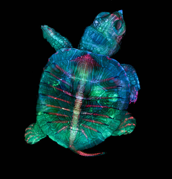 The first place image for the 45th Nikon Small World competition, by Teresa Zgoda and Teresa Kugler, shows a fluorescent turtle embryo magnified 5x. (Courtesy of NikonSmallWorld)